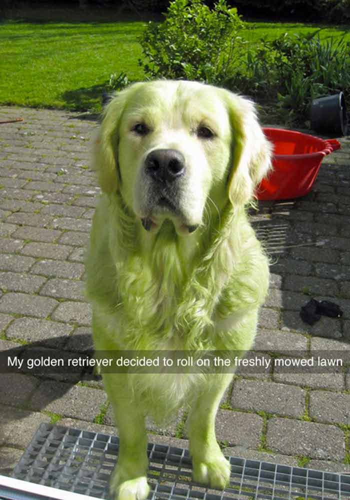 Dog rolling around in lawn meme