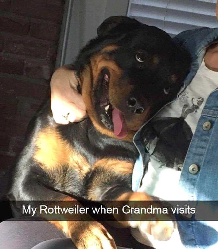 Rottweiler meme