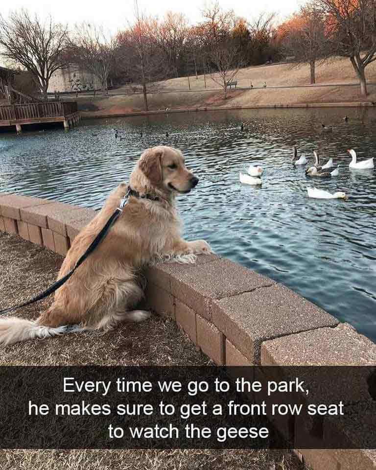 Dog watching geese meme