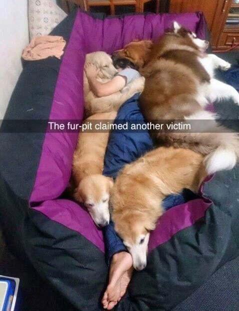 Dog fur pit meme