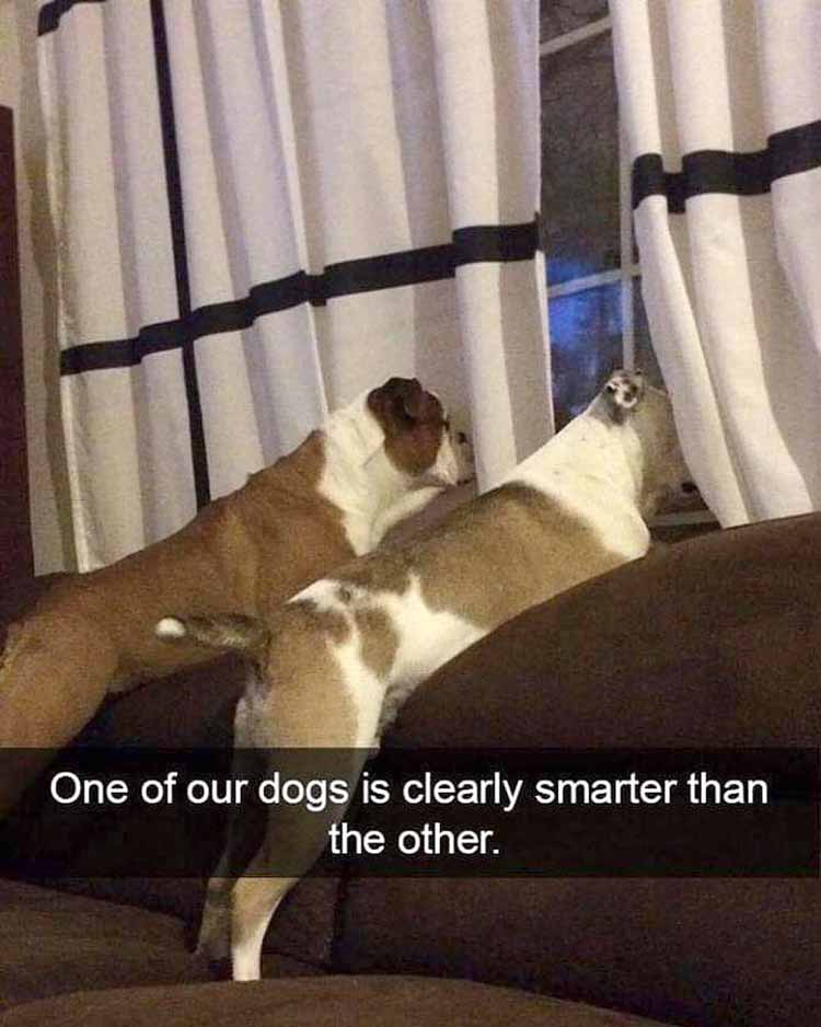 Not smart dog meme