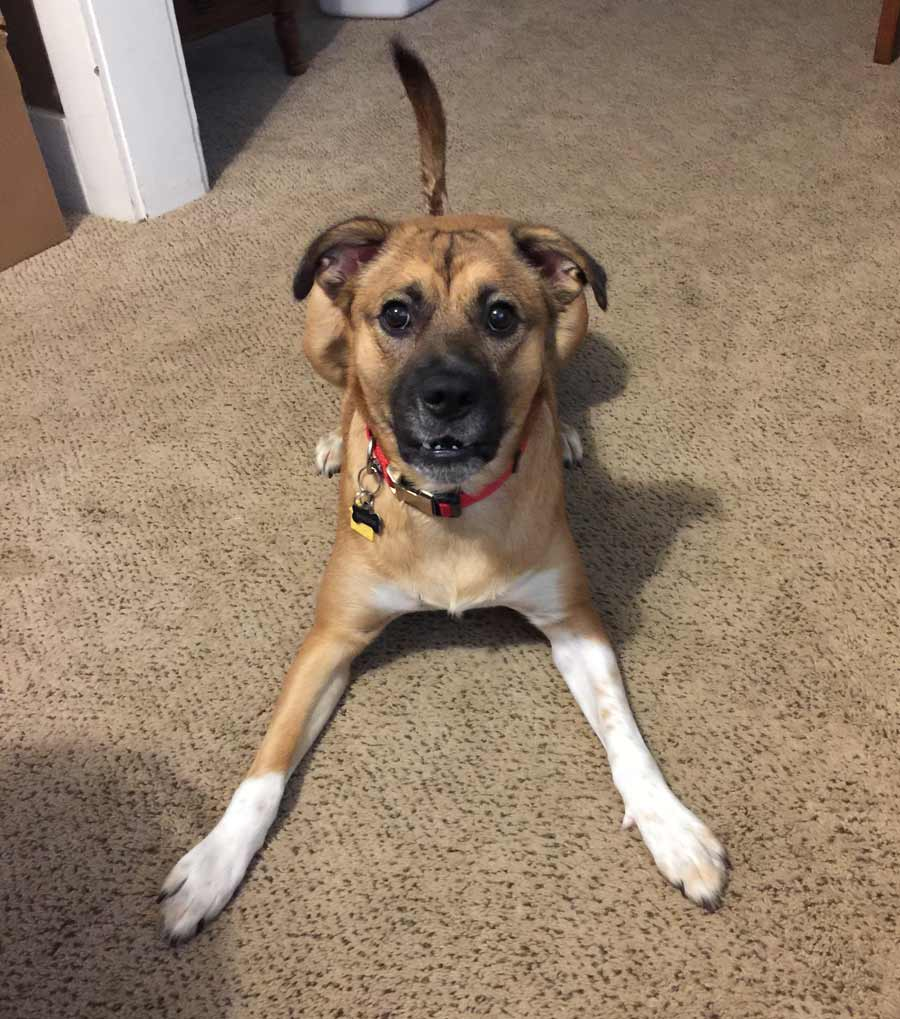 Skeeter the German Shepherd, Boxer Mix