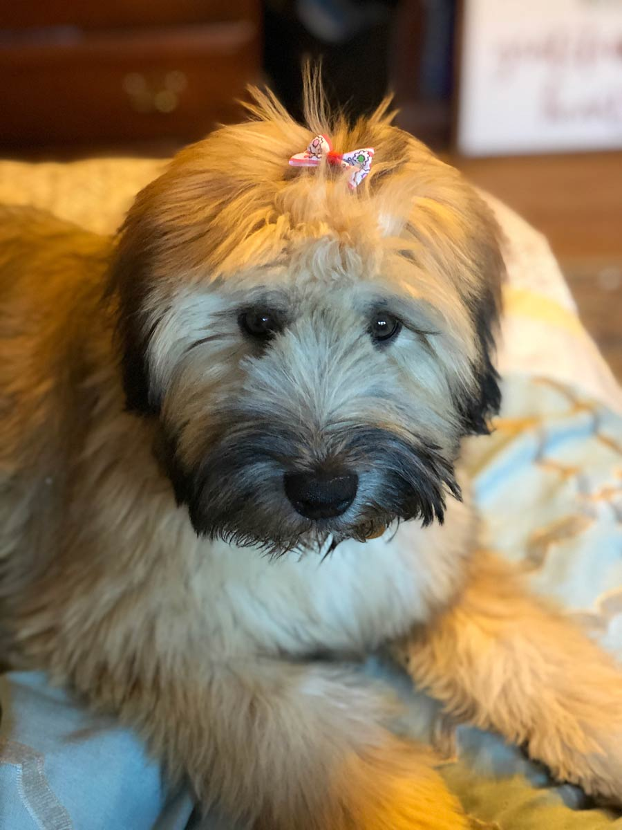 Winnie the Soft-Coated Wheaten Terrier