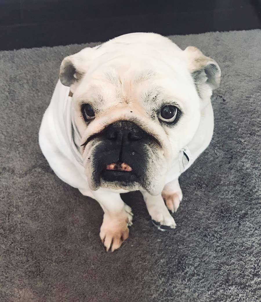 Molly the English Bulldog
