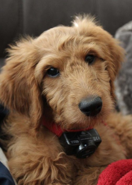 Bacon the Goldendoodle