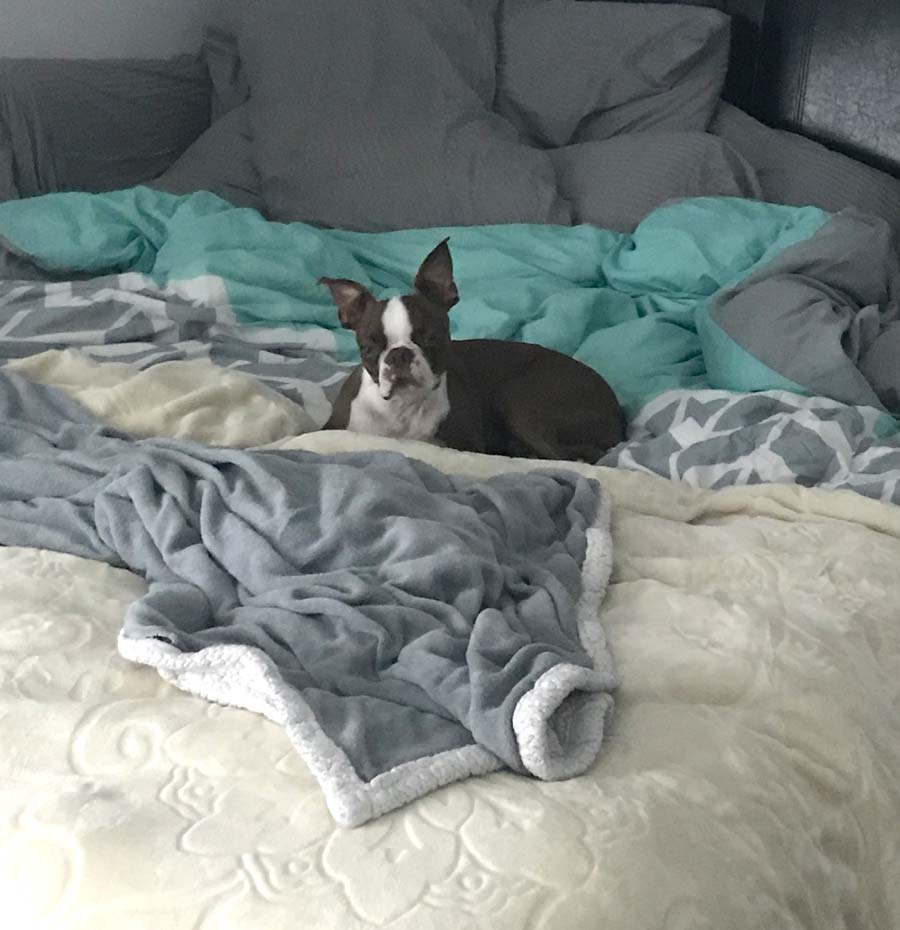 Bodie Brown the Boston Terrier
