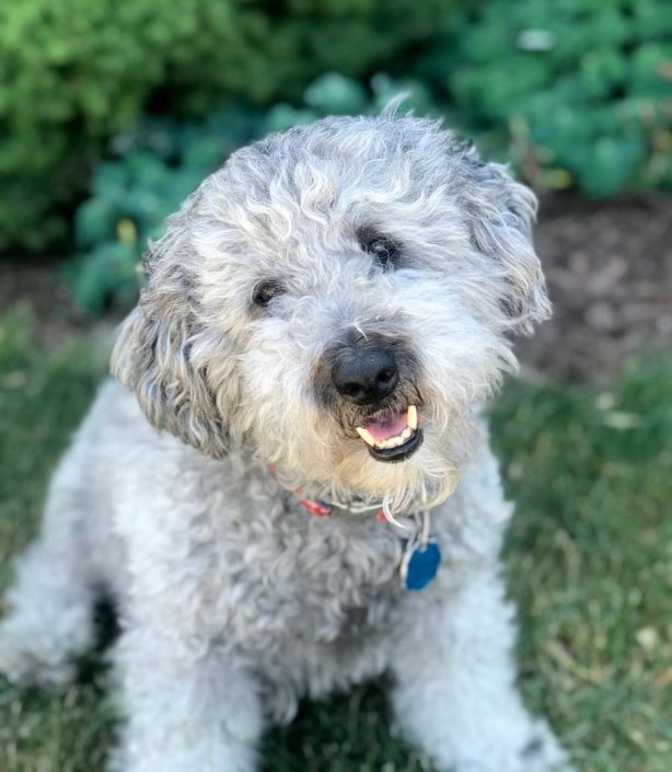 Charlie the Shih Tzu, Poodle Mix