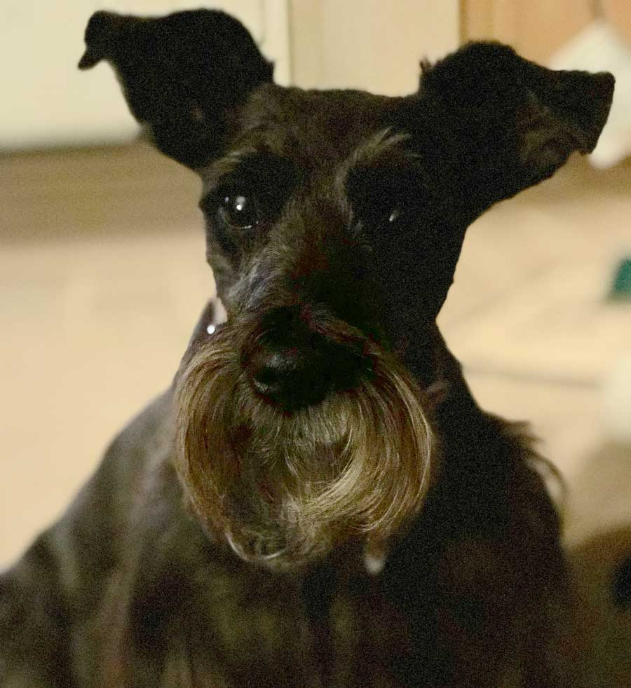 Cookie the Miniature Schnauzer