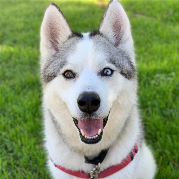 Milo the Siberian Husky Mix