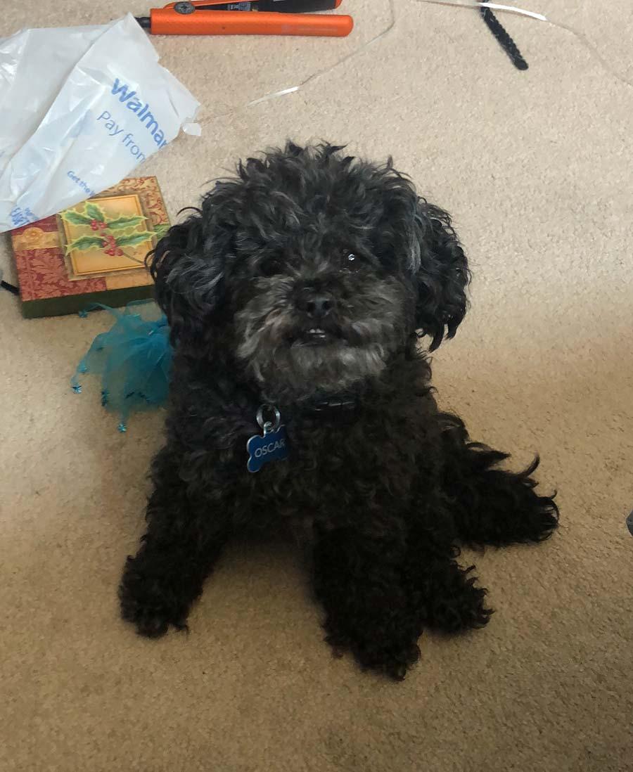 Oscar the Shih-Tzu, Poodle Mix