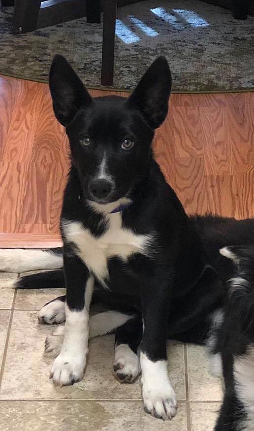 Pepper the Border Collie, German Shepherd Mix