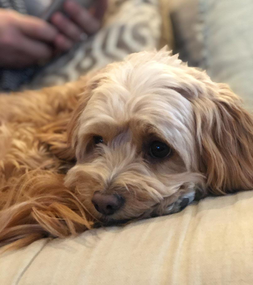Sophie the Cavapoo