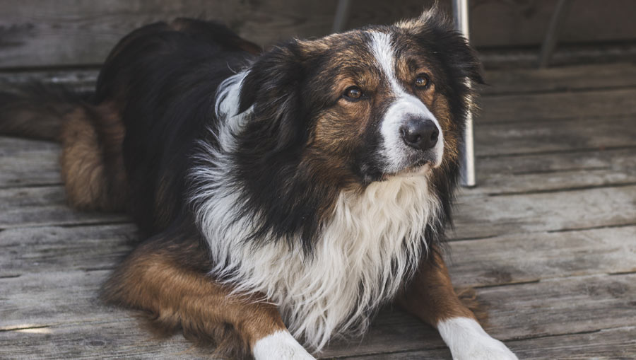 CBD Oil for Dogs with Arthritis: 5 Things You Must Know