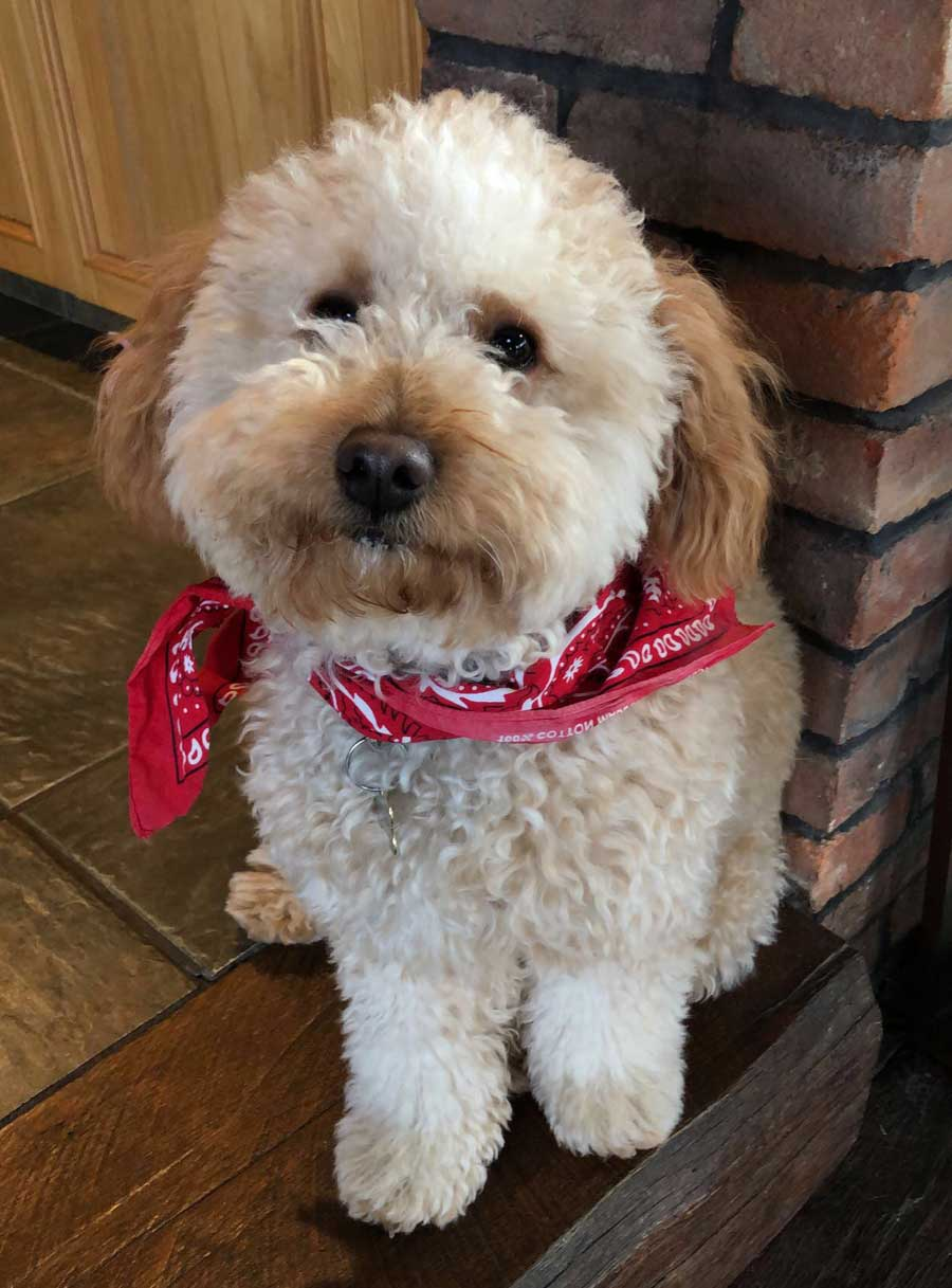 Bailey the Miniature Goldendoodle