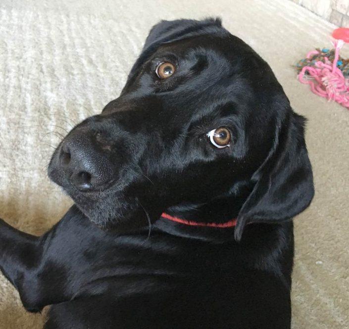 Isabella the Black Labrador Retriever