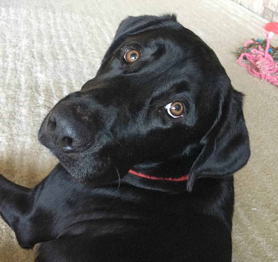 Isabella the Black Labrador Retriever