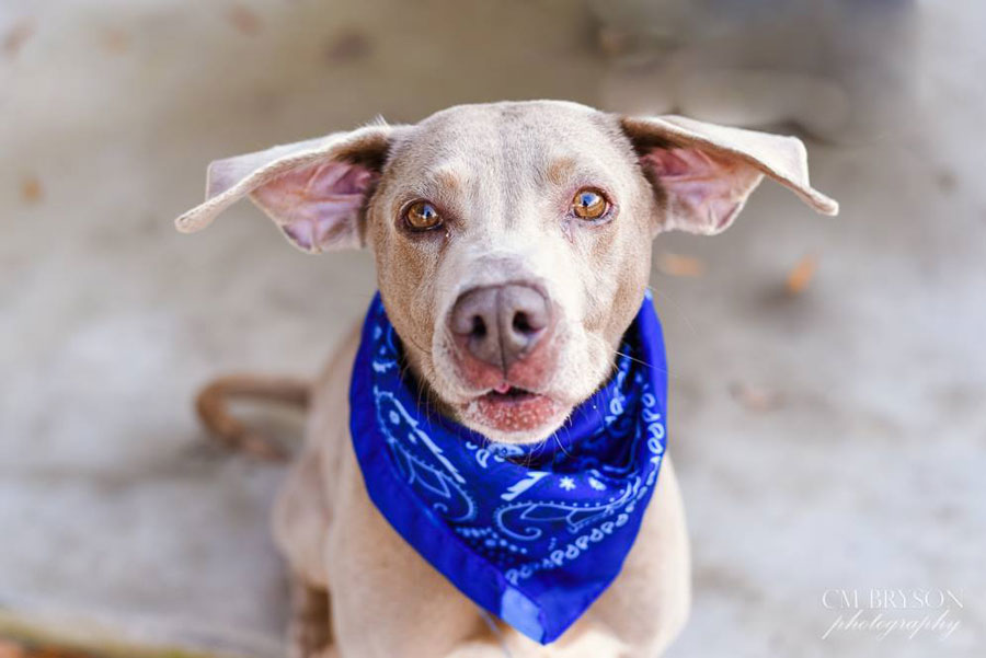 Lazarus the Weimaraner Mix