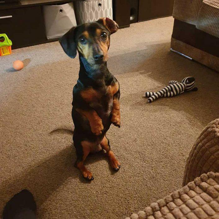 Ralph the Miniature Dachshund