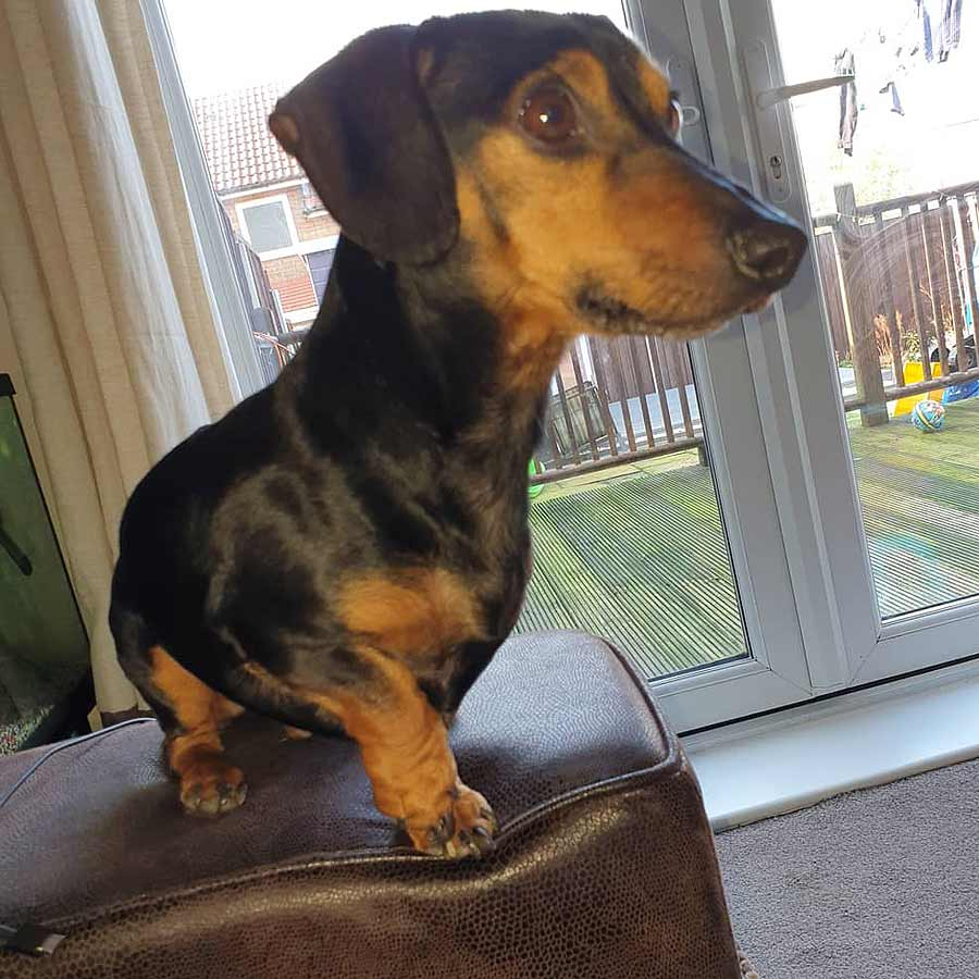 Ralph the Miniature Dachshund