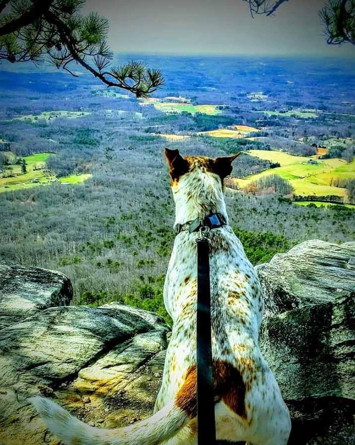 Rambo the Australian Cattle Dog