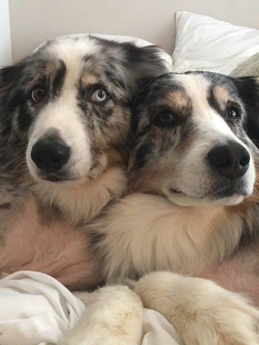 Bailey and Beckham the Australian Shepherds