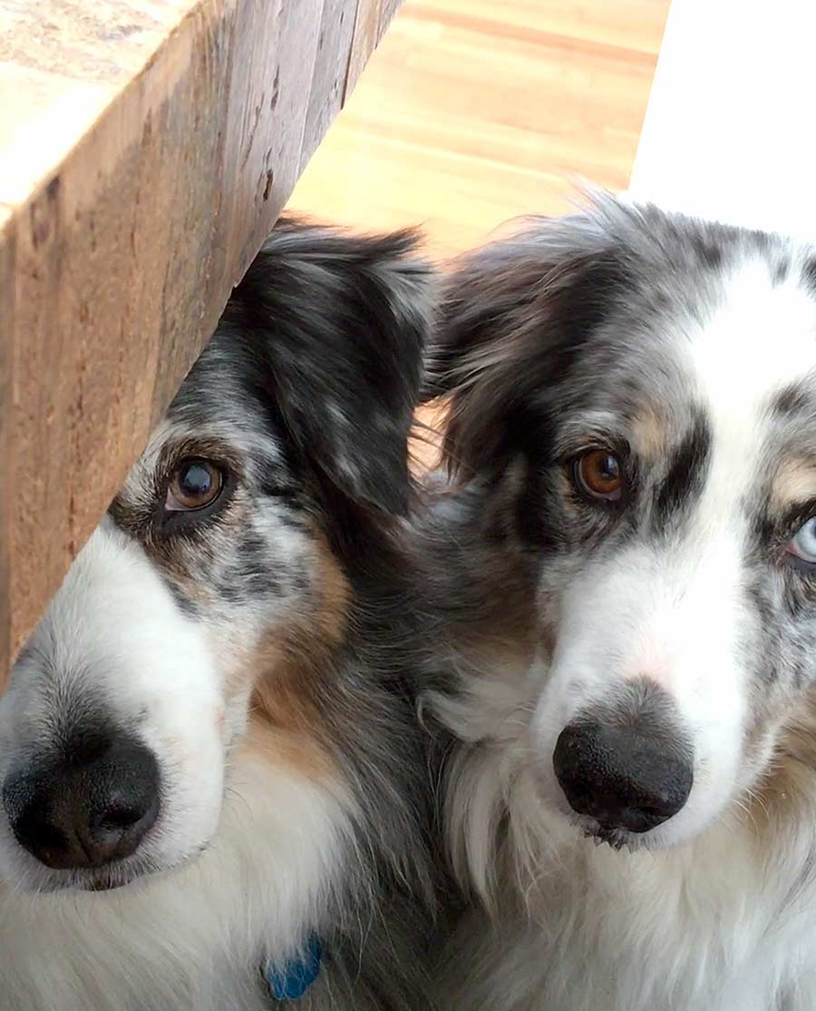 Bailey and Beckham the Australian Shepherds