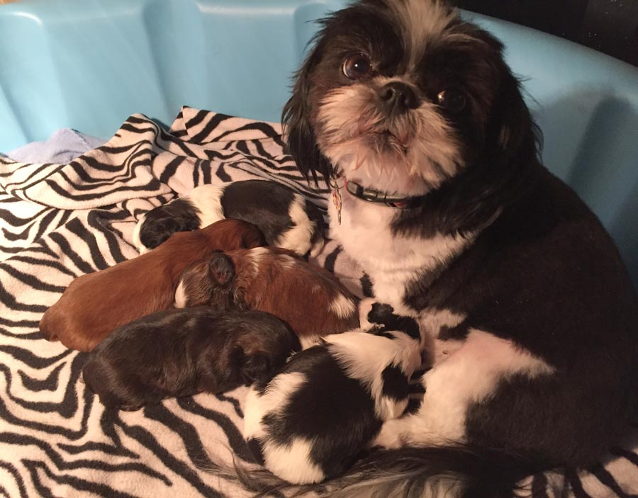 Zoe the Shih Tzu (and Siblings)