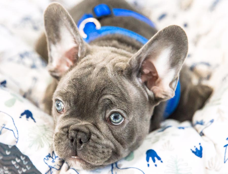 Turbo the French Bulldog