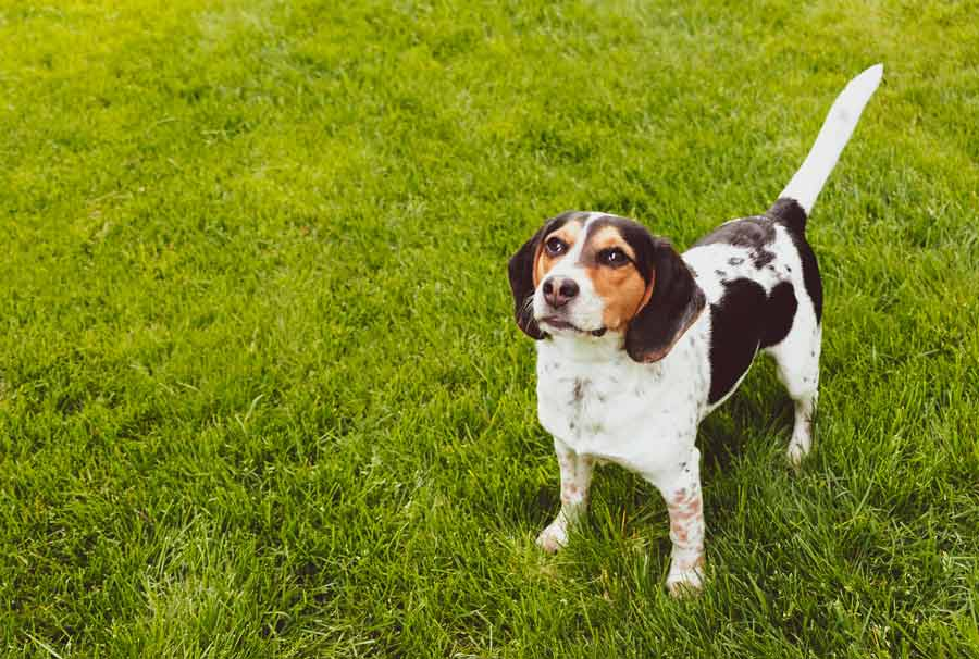 Adult Dog Potty Training – Learn How to Stop Your Dog from Messing Up Your Carpet In 4 Easy Steps!