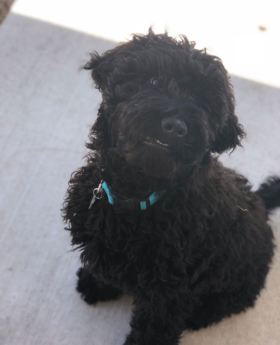Moose the Goldendoodle