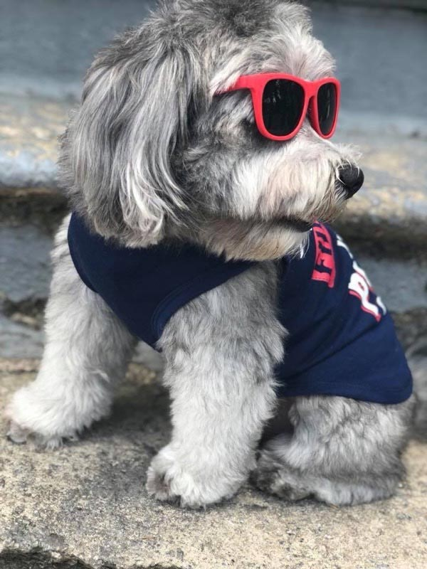 Polo the Shih Tzu, Poodle Mix