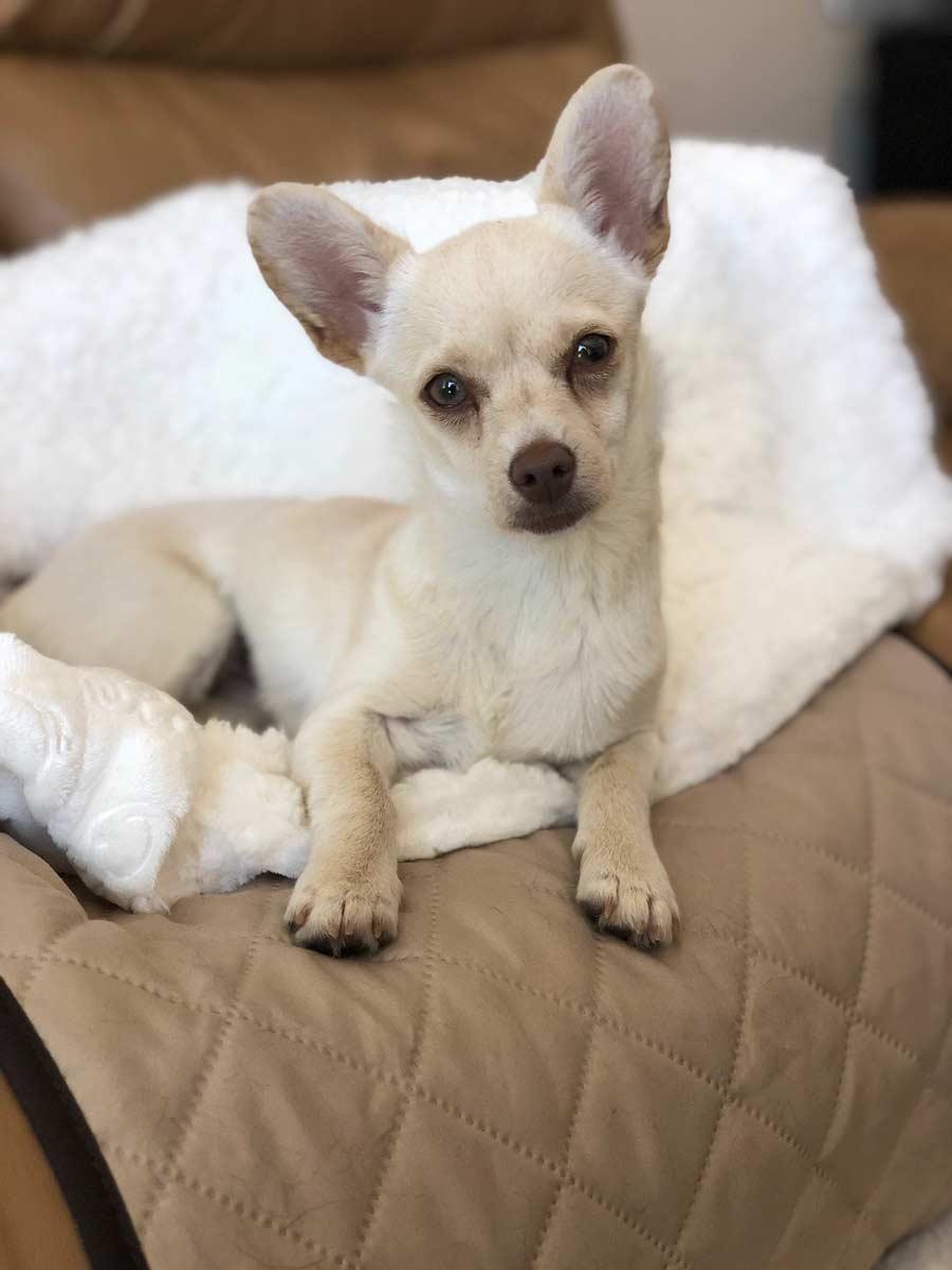 Cricket the Chihuahua Mix