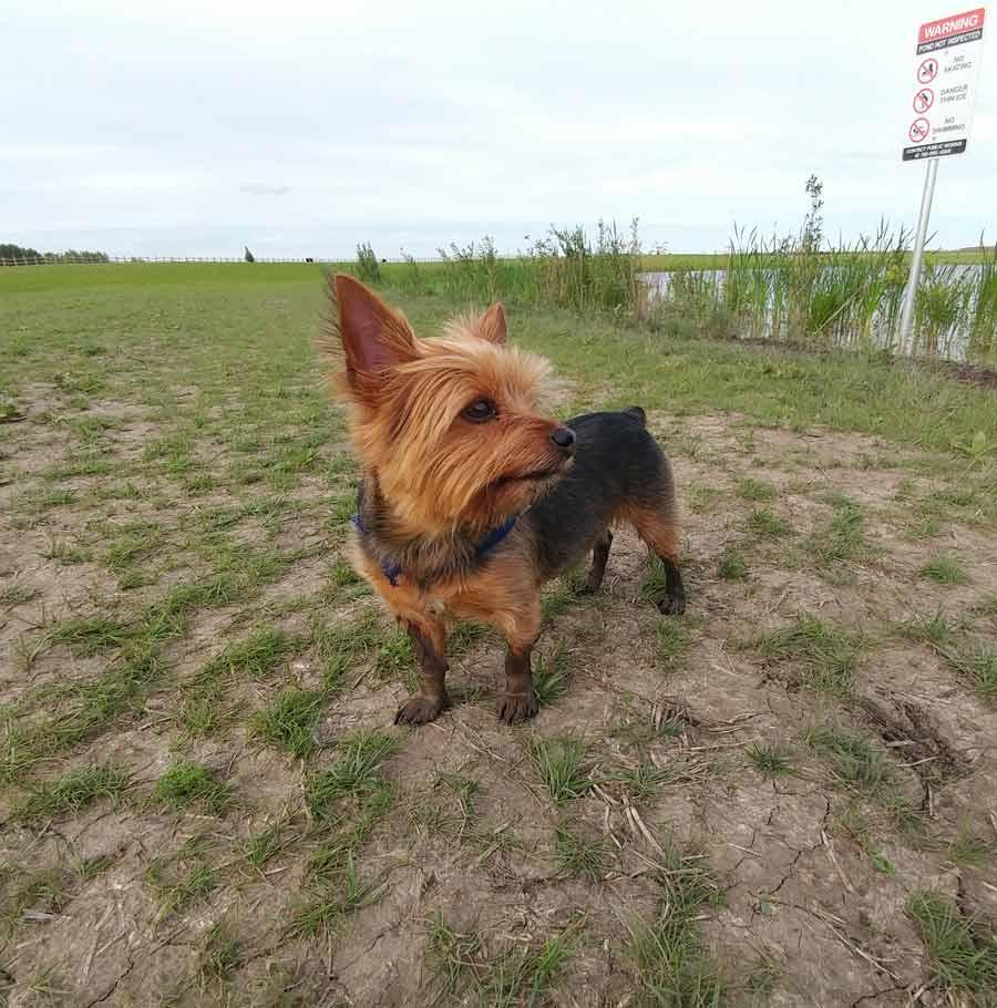 Achilles the Yorkshire Terrier