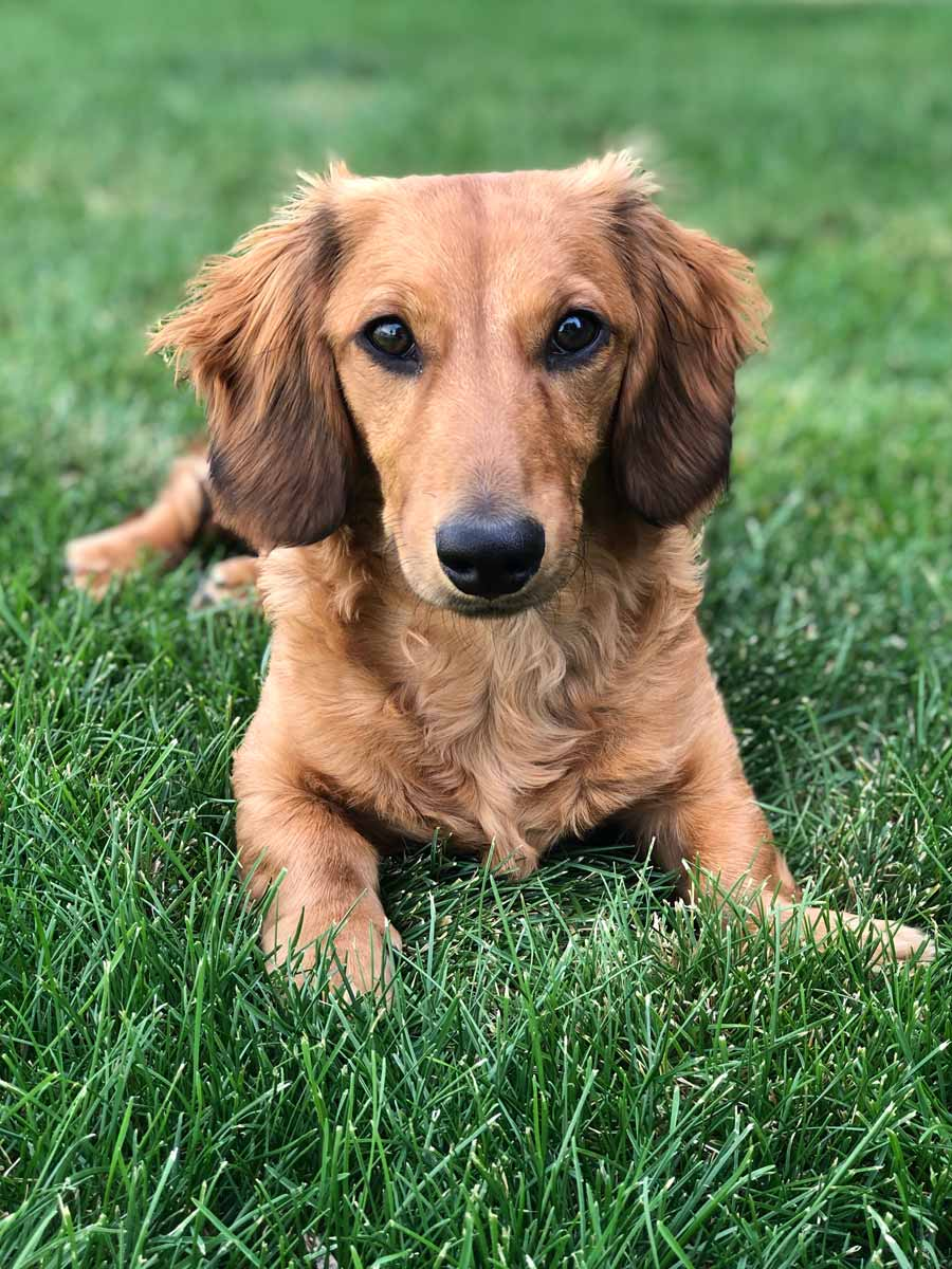 Willy the Long-Haired Dachshund ~ DogPerDay ~ Cute puppy pictures